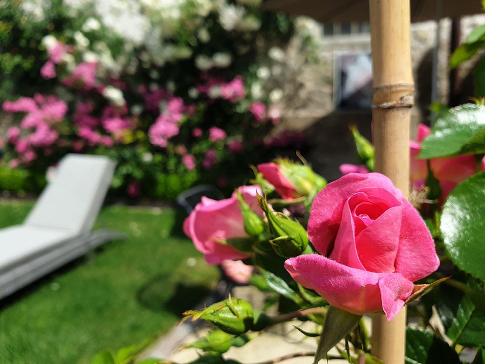 Rose bonbon : une rose de la terrasse du Lancelot pour la Route de la Rose